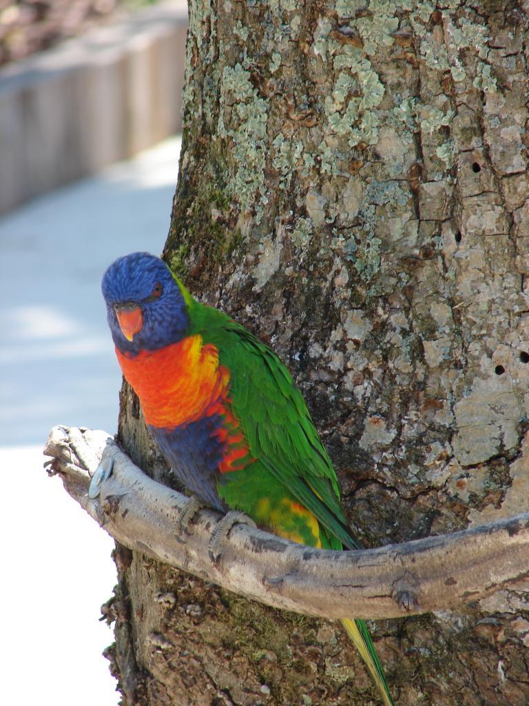 Loris (Petit perroquet d'Océanie)