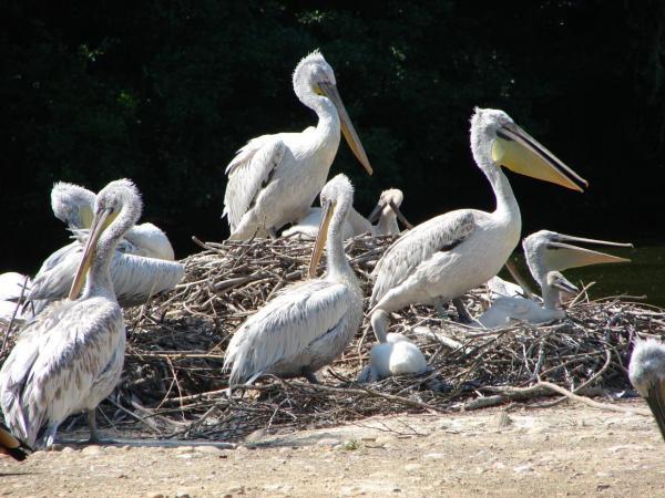 Les pelicans et leurs petits