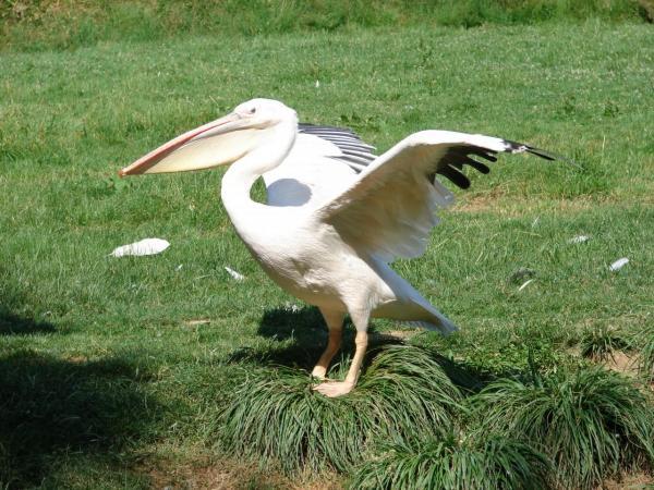 Les pelicans durant le spectacle des oiseaux en vol