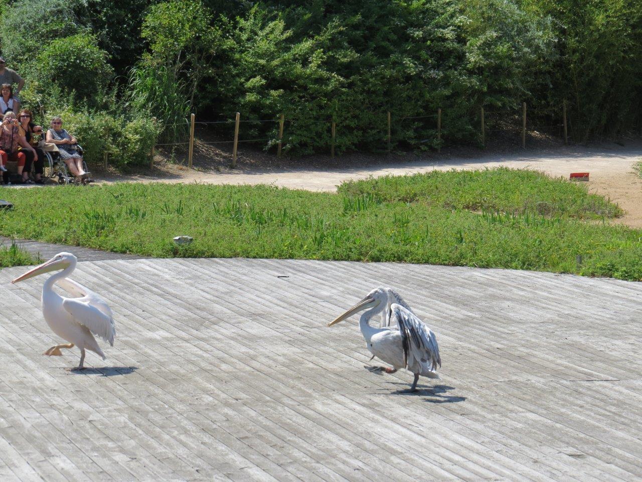 Les Pelicans