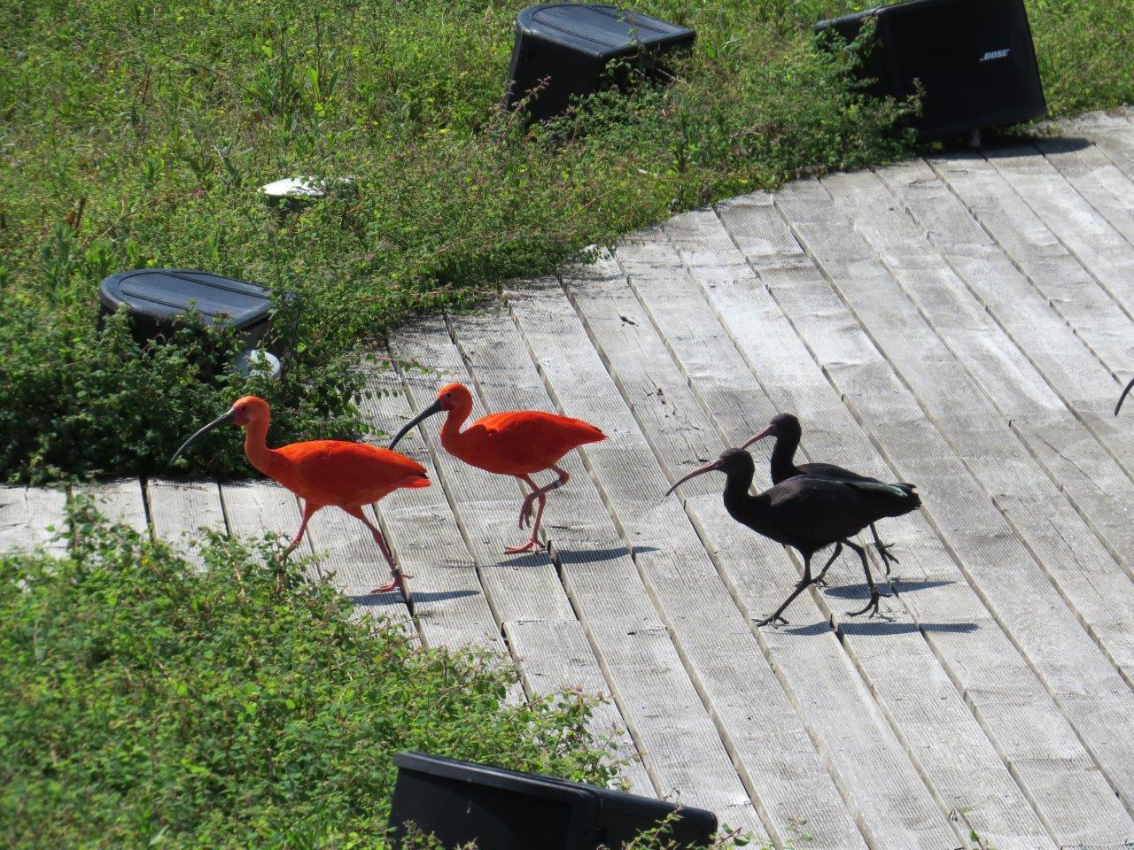Ibis noir et oranger